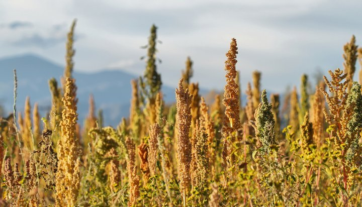 Quinoa crops